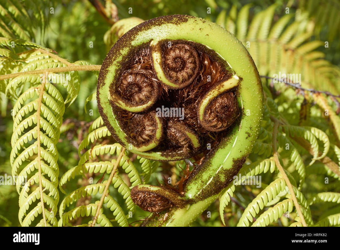 Koru unfurling frond of a new zealand black tree fern mamaku koru unfurling frond of a new zealand black tree fern mamaku the maori symbol for new beginnings biocorpaavc