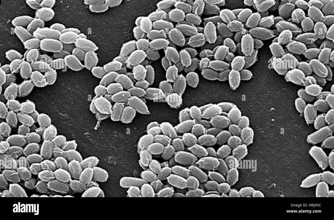 a biological description of the bacterium bacillus anthracis Bacillus anthracis is the bacterium that causes the illness anthrax, made familiar by the bioterrorist attacks that occurred just after the 9/11 terrorist attacks its spores are extremely.