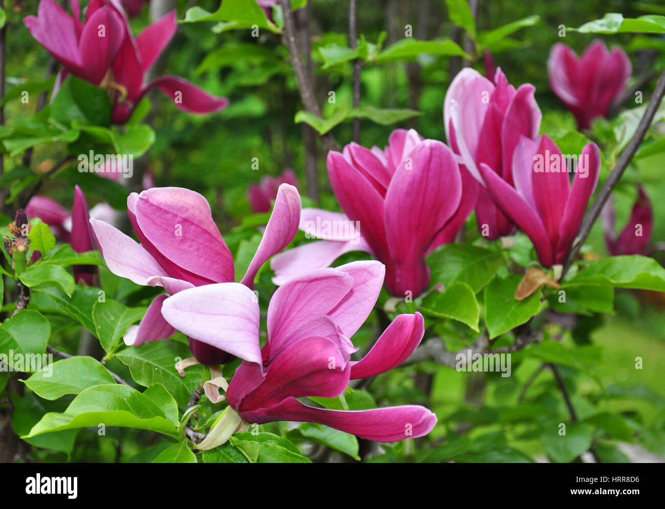 Magnolia liliiflora - Wikipedia