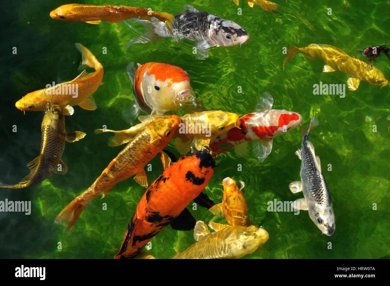carpes koi dans un bassin stockfoto lizenzfreies bild 135159146 alamy