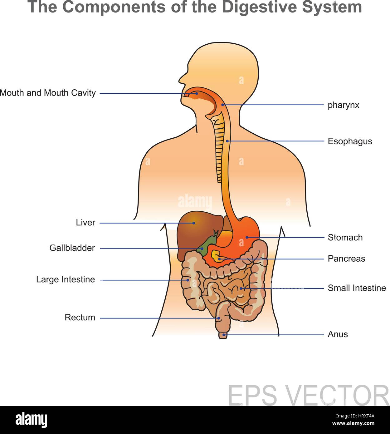 human digestive system stock photos u0026 human digestive system stock