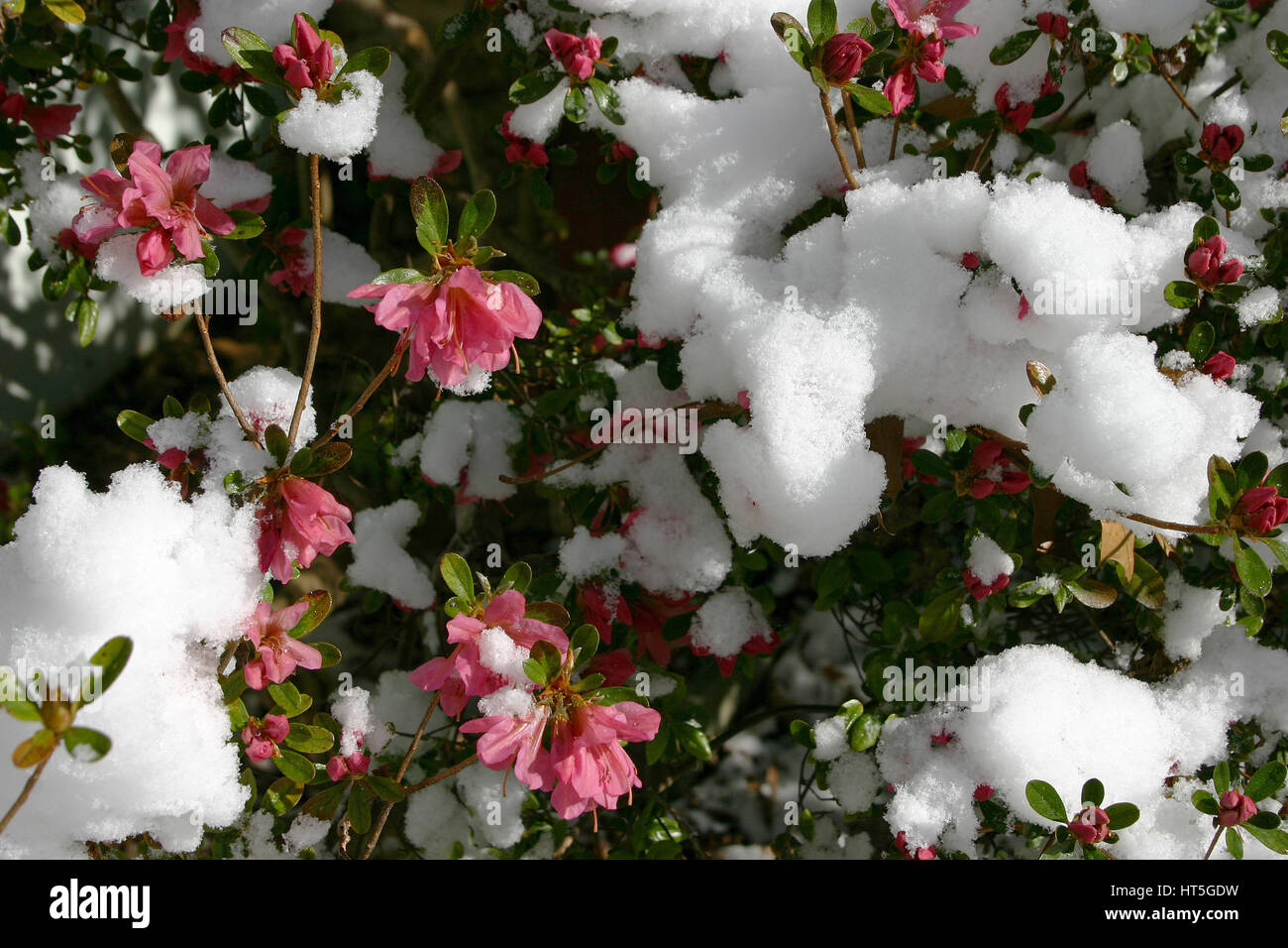 An azalea bush blooming with beautiful deep pink flowers is covered an azalea bush blooming with beautiful deep pink flowers is covered in melting snow on a sunny spring day mightylinksfo Image collections