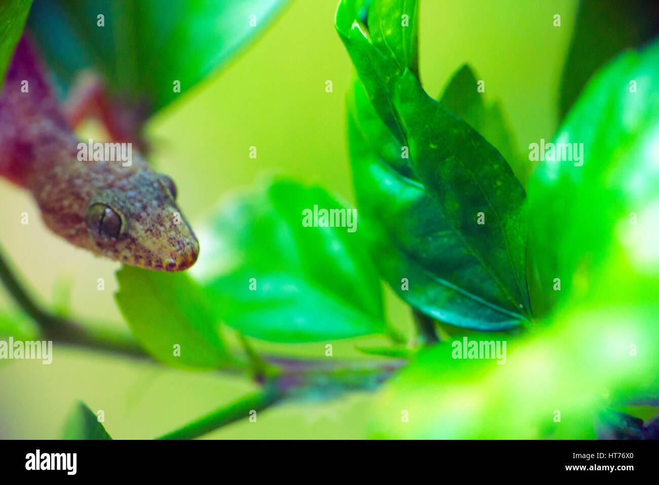 tropical house gecko on green leaf. kerala stock photo, royalty