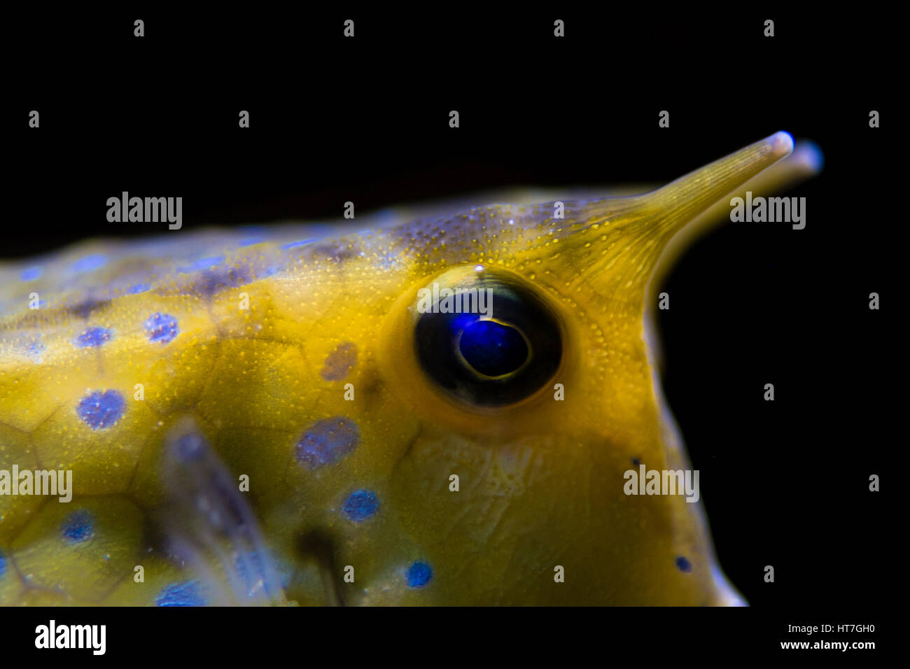longhorn cowfish lactoria cornuta head and horns detail of indo pacific reef