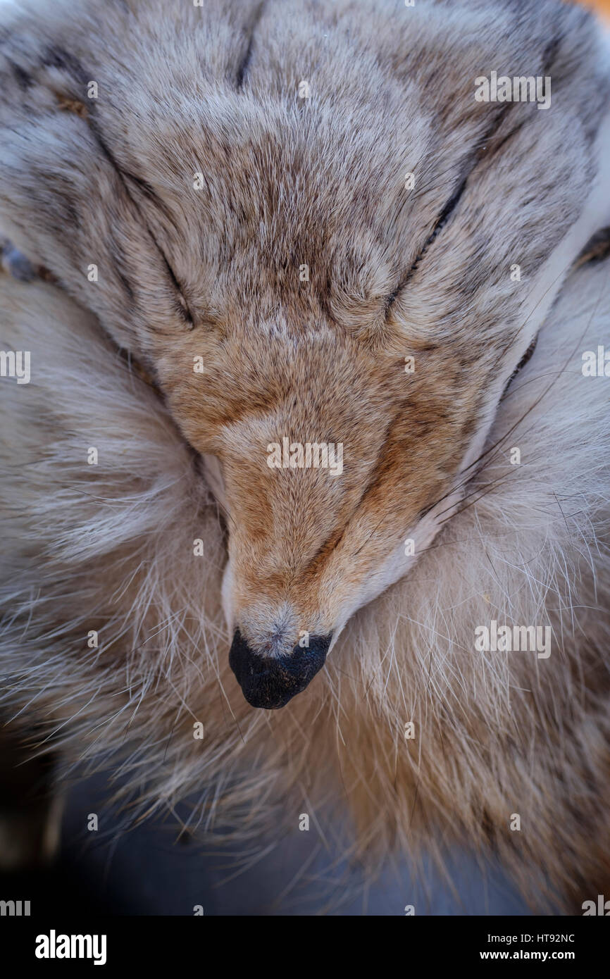 Coyote (Canis latrans) fur / pelt close-up / closeup showing the ... for Lynx Pelt  110ylc