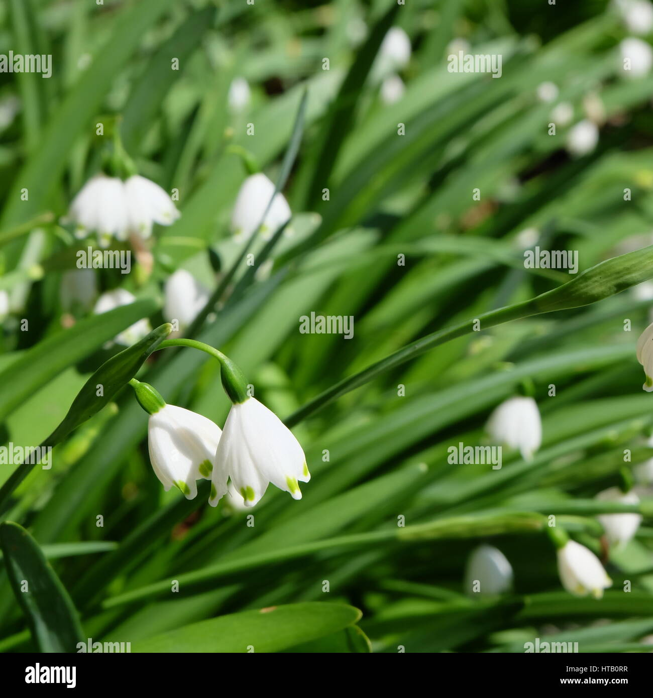 Tiny white dots stock photos tiny white dots stock images alamy leucojum small white bell shaped flower with green dot on tip of petal stock dhlflorist Image collections