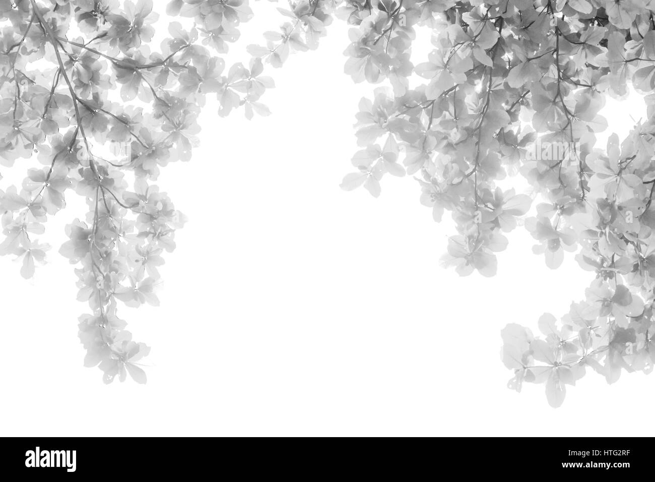 black and white infrared of tree leaves in isolated white