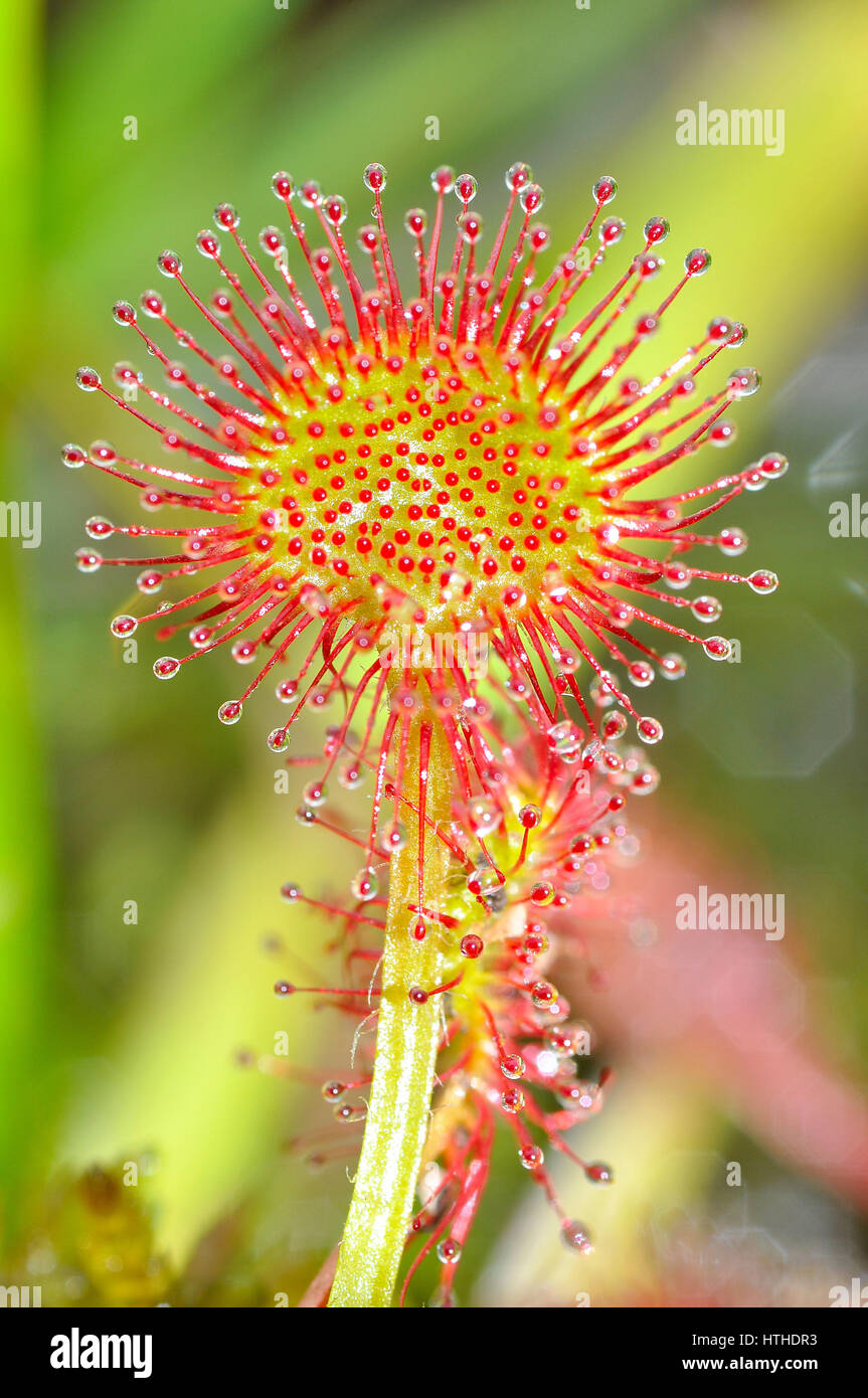 Sundew Flower Round-Leaved Su...
