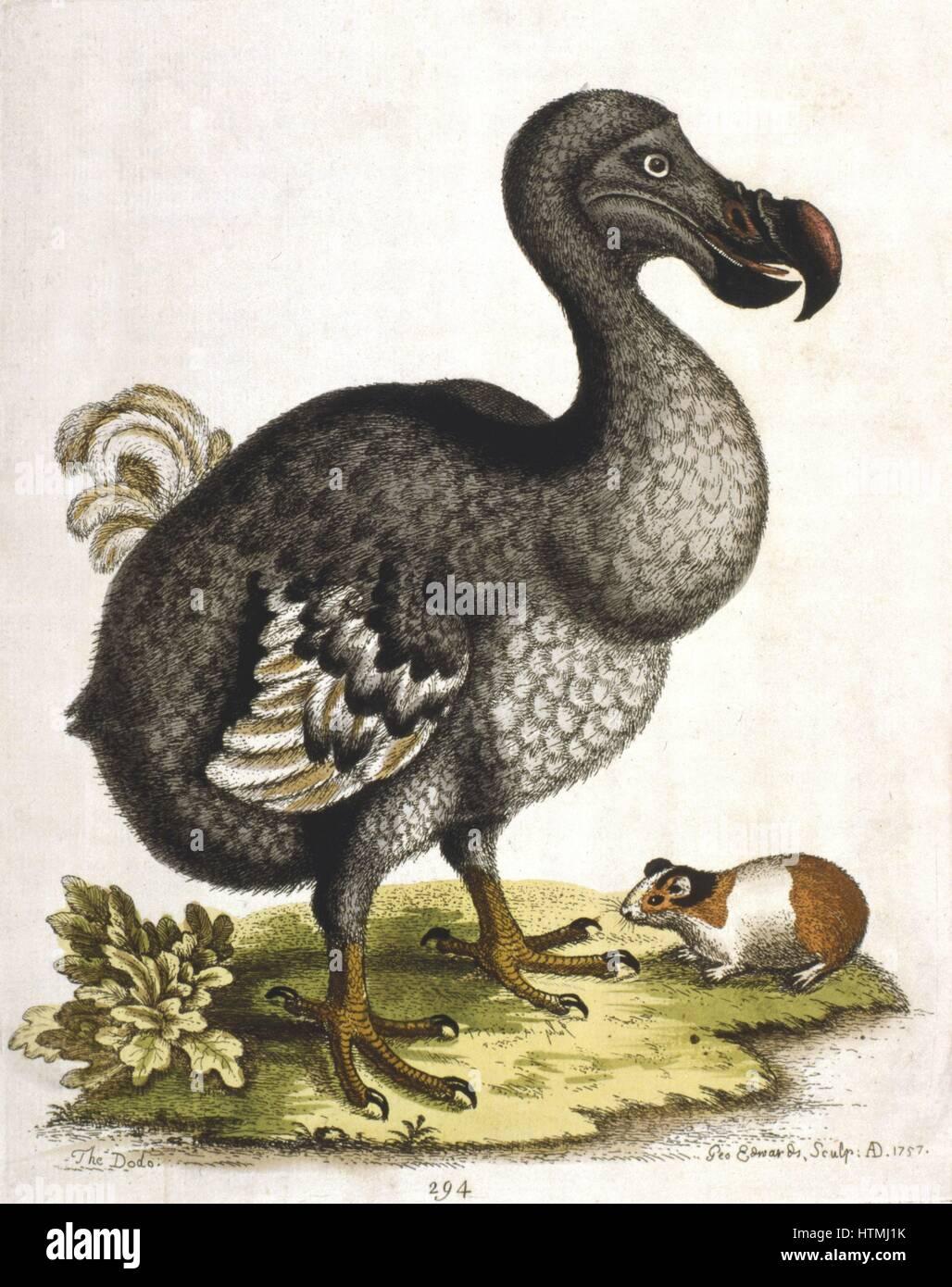 extinct species dodo bird Dodo: dodo, extinct flightless bird of mauritius, one of the three species that constituted the family raphidae.