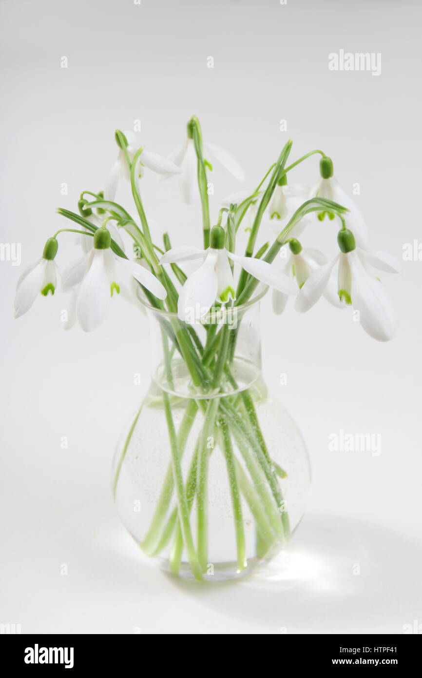 A bunch of freshly picked single flower snowdrops galanthus in a a bunch of freshly picked single flower snowdrops galanthus in a glass vase against white background in an english home in february reviewsmspy