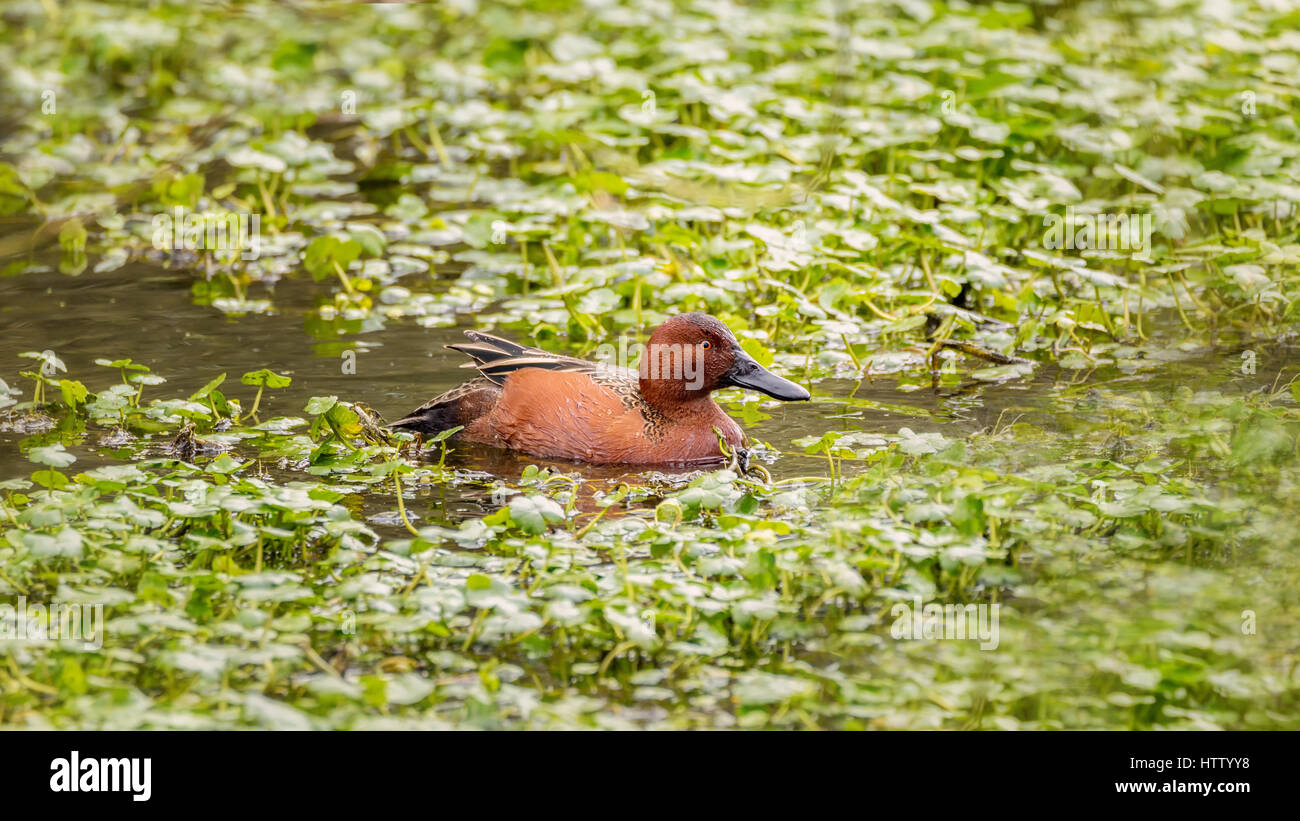 wild mallard duck in a pond color image stock photo royalty free