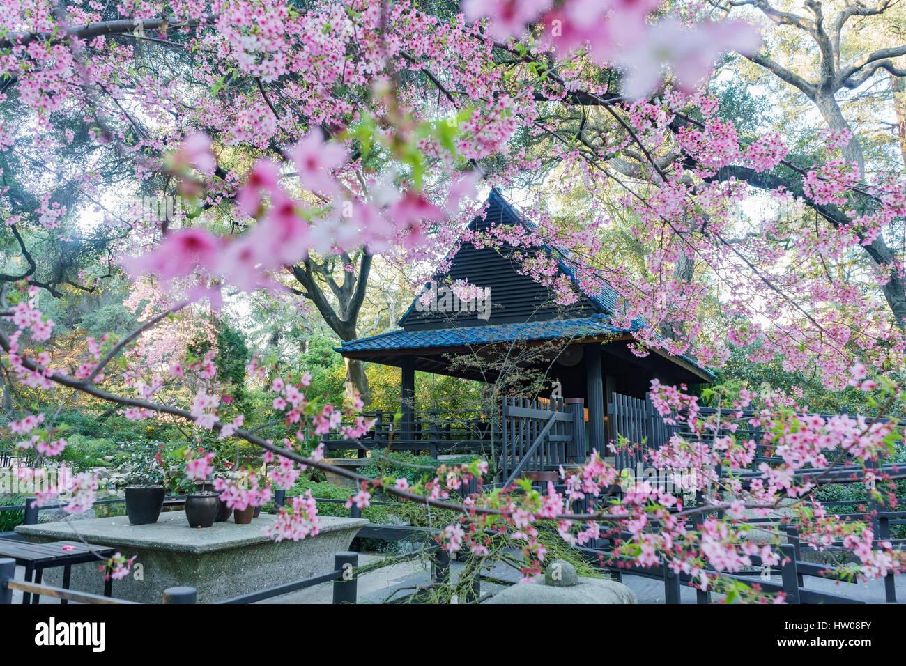 Beautiful cherry blossom at Japanese Garden of Descanso Garden