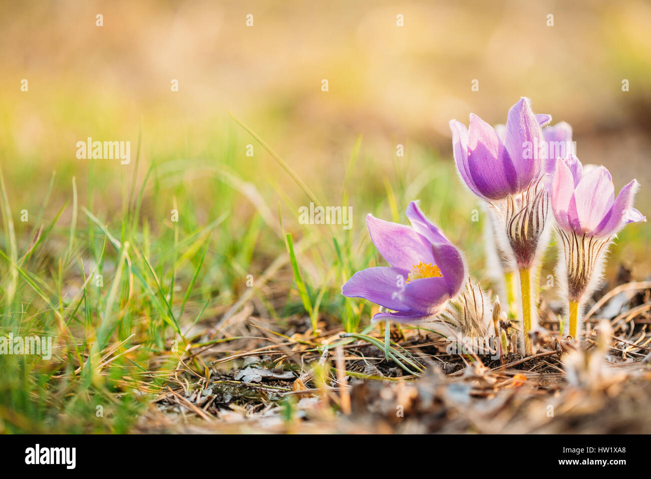 Wild spring flowers pulsatilla patens flowering plant in family stock photo wild spring flowers pulsatilla patens flowering plant in family ranunculaceae native to europe russia mongolia china canada and united dhlflorist Gallery