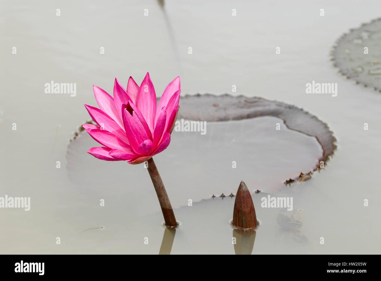 Red Lotus Flower Meaning Red Lotus Flower Symbolism Dinocrofo