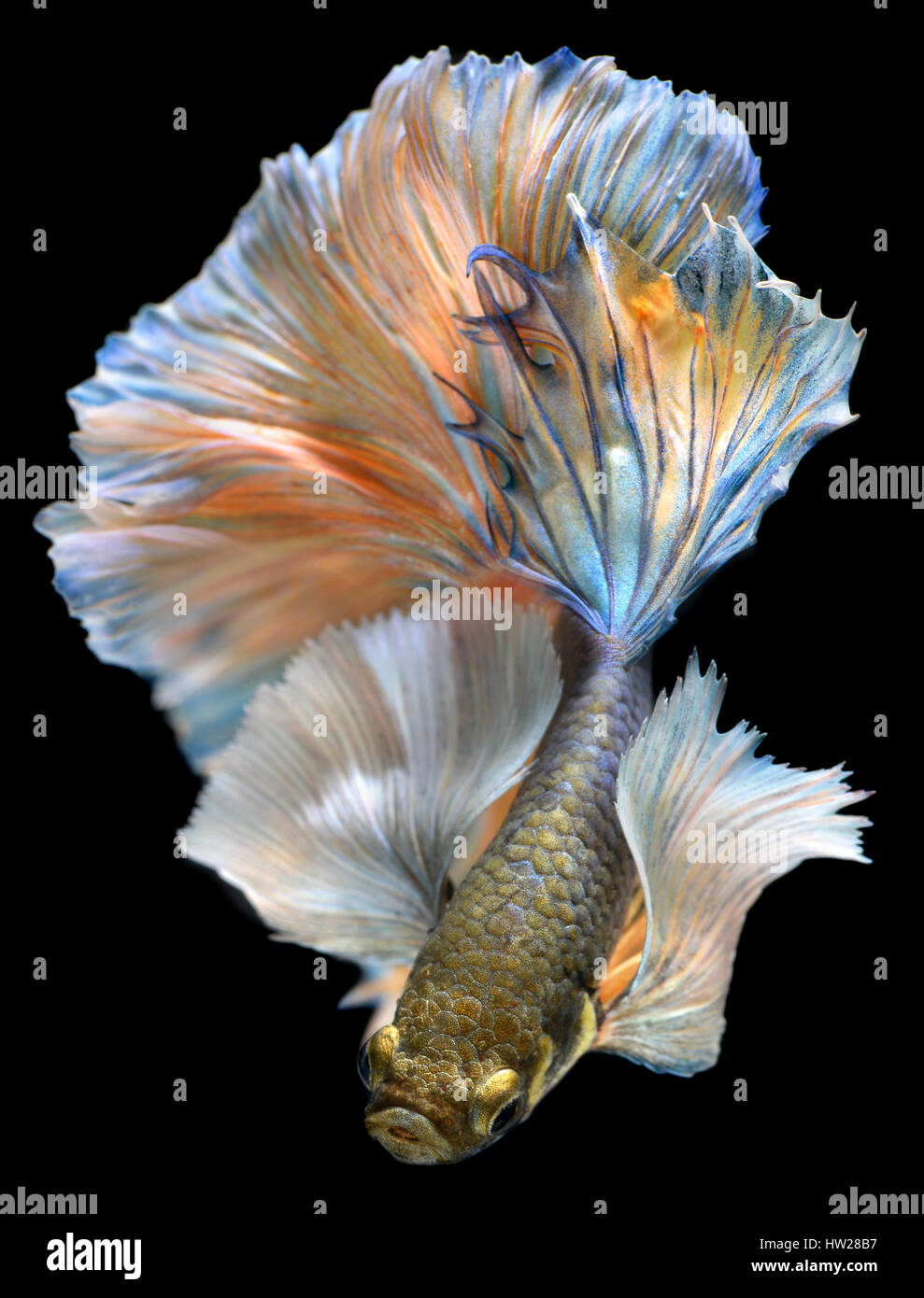 Betta fish in freedom action and show the beautiful fins for Fish tail fin