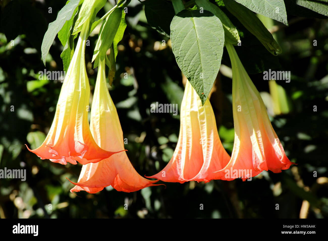 Angel Trumpets Brugmansia Datura Flower in the Garden in Chiang Stock