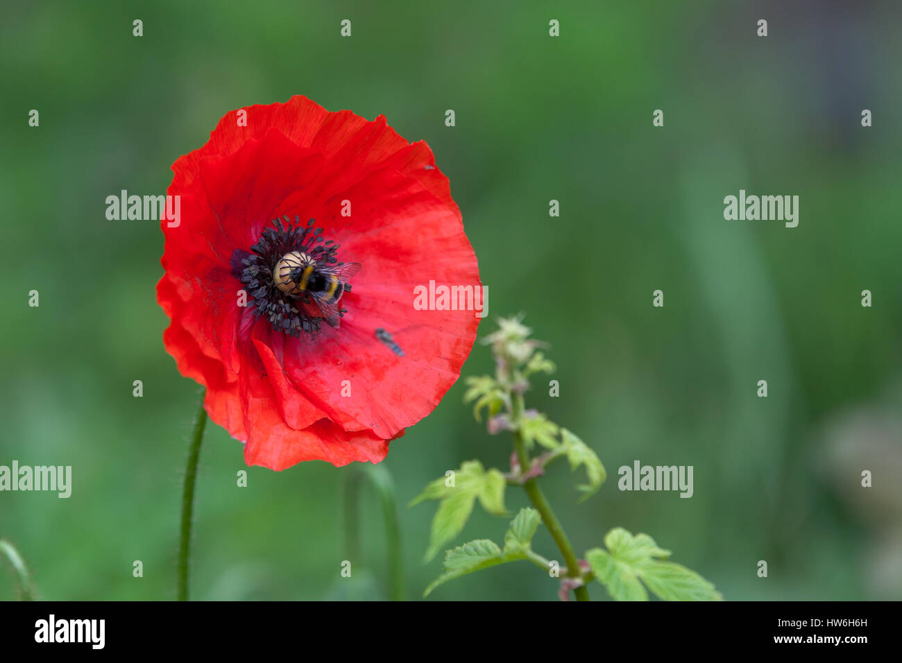 Bumble bee on red poppy in green background stock photo royalty bumble bee on red poppy in green background biocorpaavc