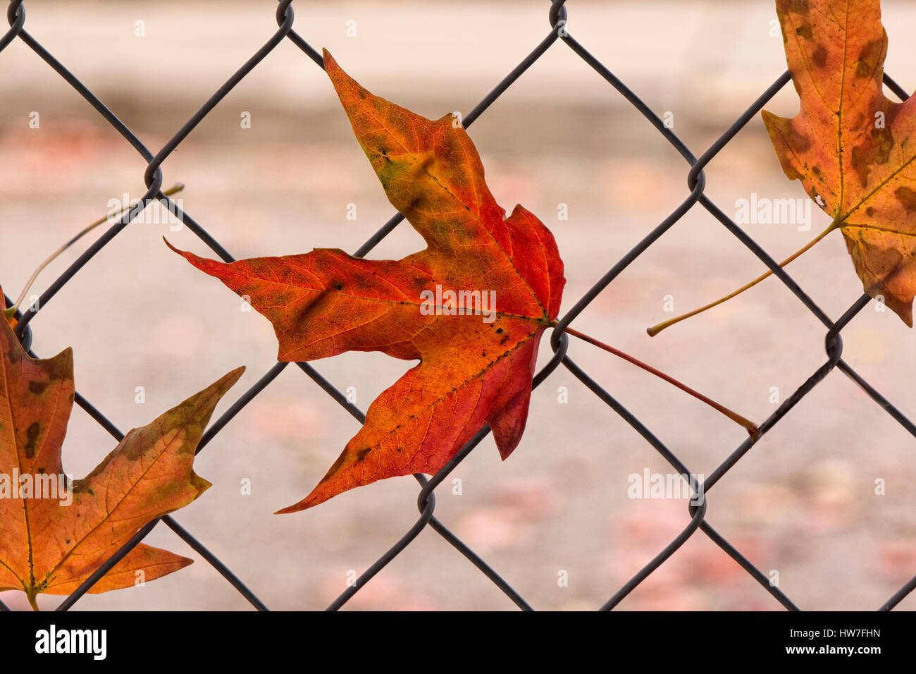 Fall maple leaves caught in wire fence Stock Photo, Royalty Free ...