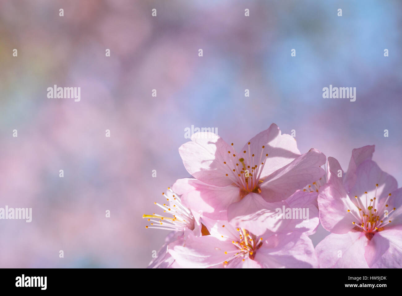 Closeup view of small cluster of pink sakura flowers on a blooming closeup view of small cluster of pink sakura flowers on a blooming japanese cherry tree against dhlflorist Images