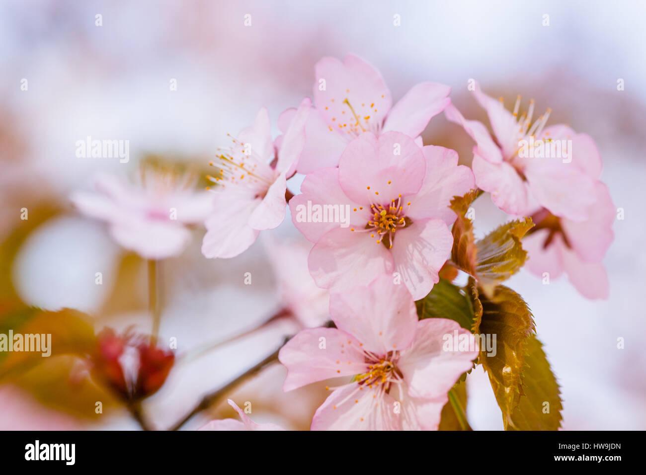 Closeup view of cluster of pink sakura flowers on a blooming closeup view of cluster of pink sakura flowers on a blooming japanese cherry tree against pale dhlflorist Images