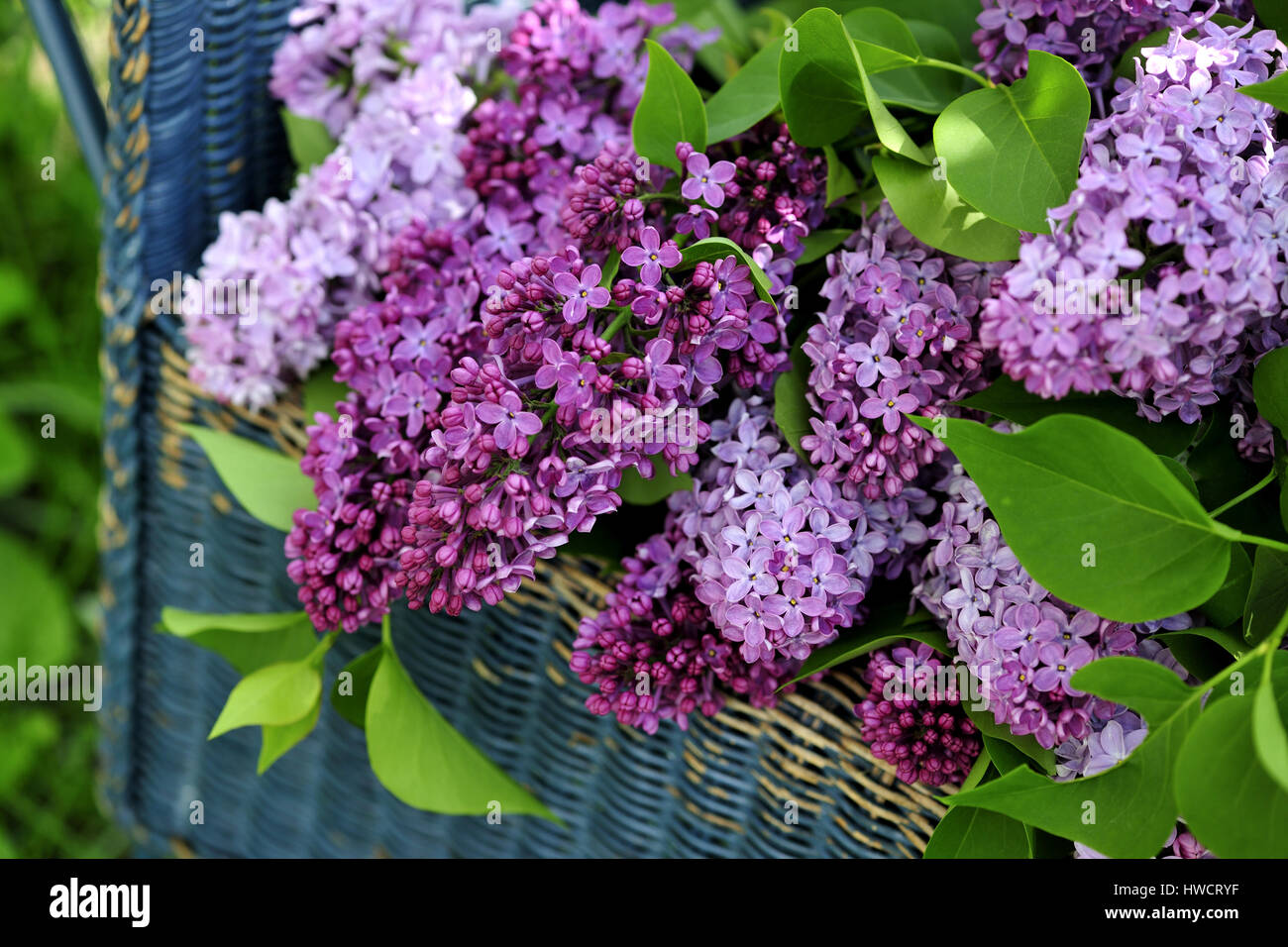 Shrubs with purple flowers at end of branch - Stock Photo Branch Bucket Cut Cut Flower Harvest Lilac Mauve Outdoors Purple Pink White Shrub Spring Stems Syringa Vulgaris Garden Bench