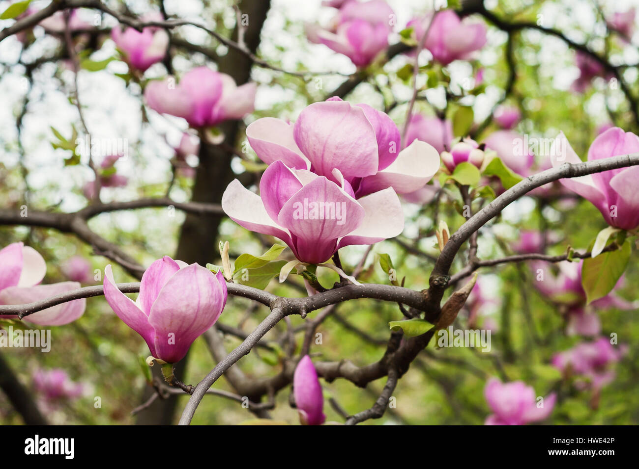 Bloomy Magnolia Tree With Big Pink Flowers Stock Photo Royalty Free