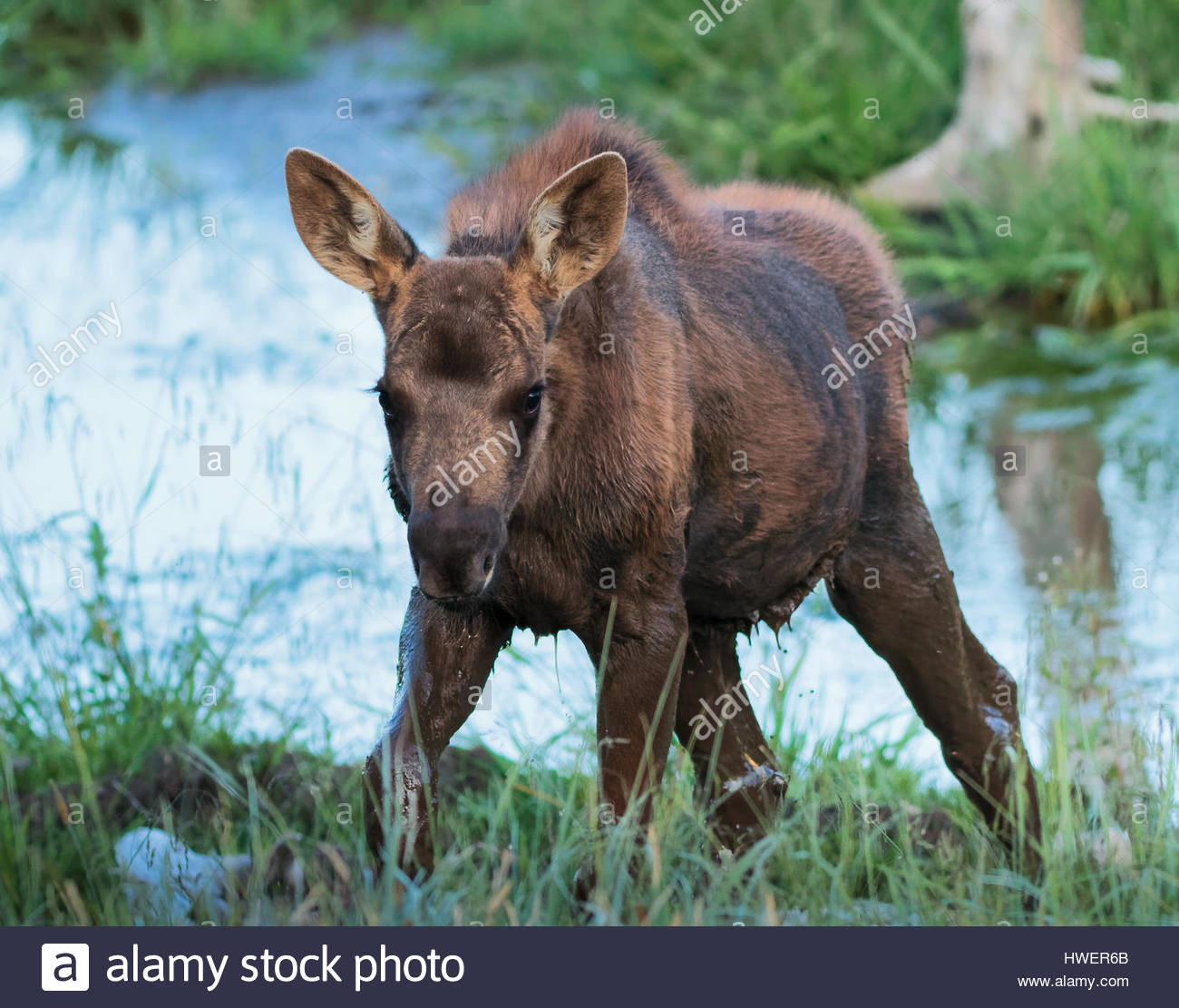 the shiras moose in colorado is the smallest of the moose species