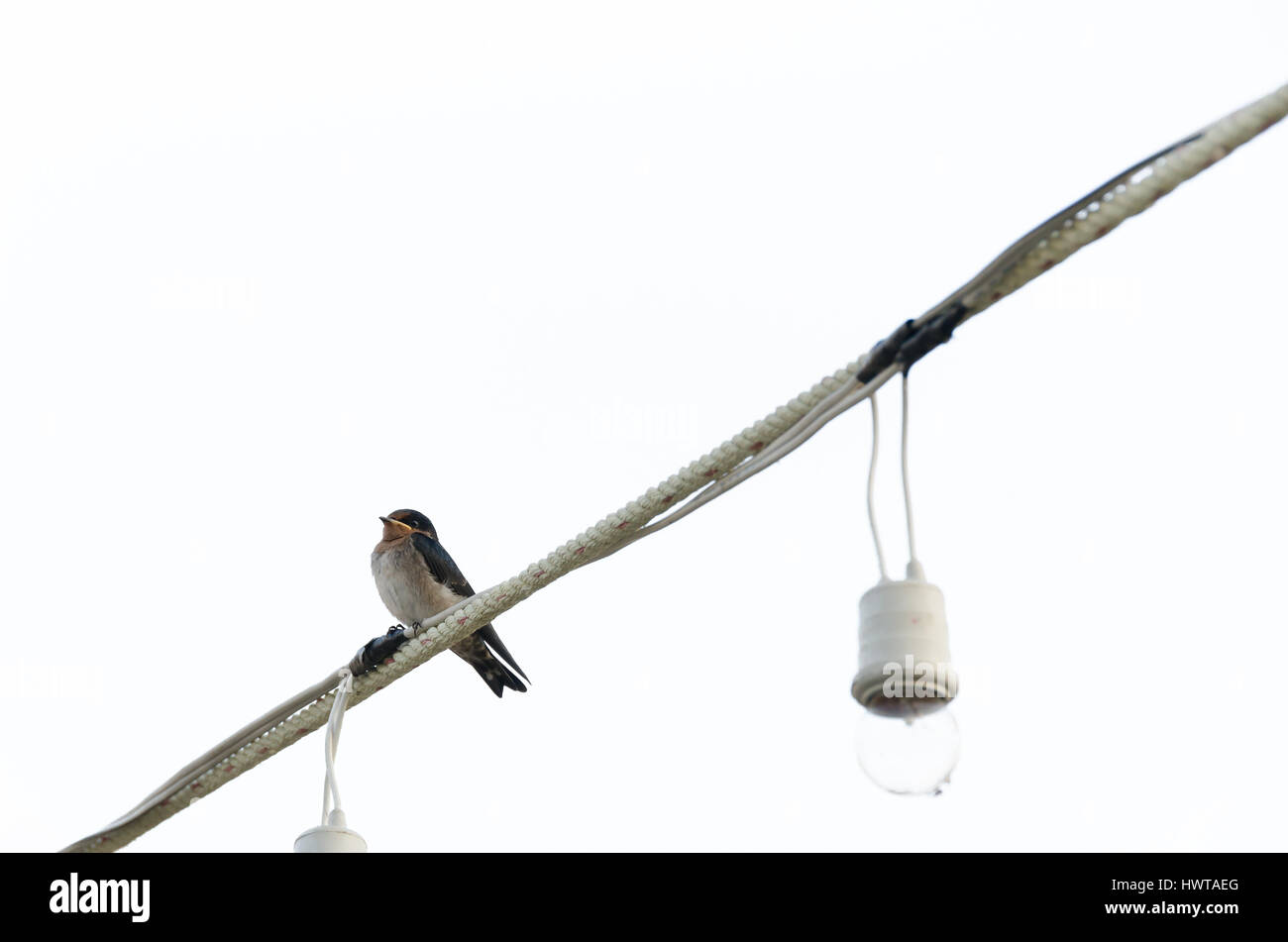 Lonely bird sitting on electric wire, Isolated on white background ...