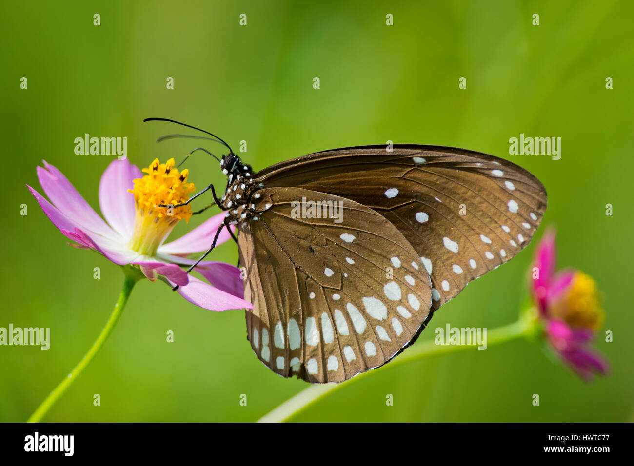 common crow butterfly on a flower in kanha national park india