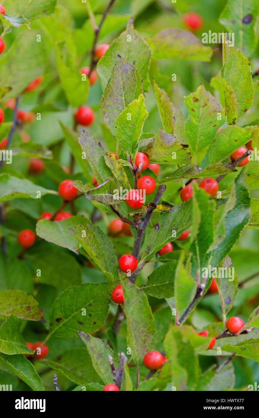 Winterberry bush