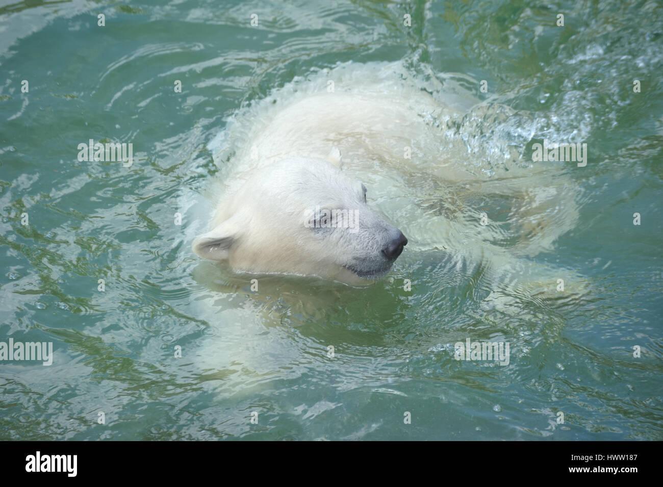 Polar bear swimming in ocean - photo#42