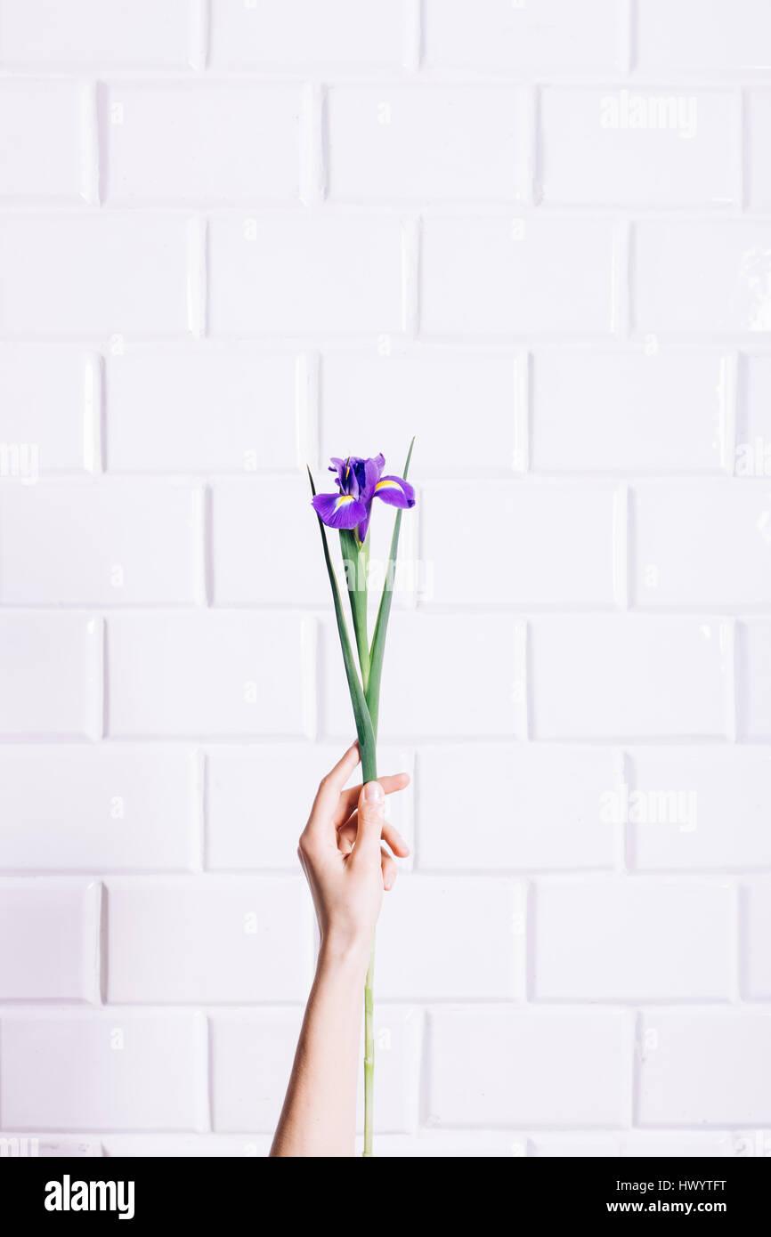 Iris Flower In A Female Hand Against White Brick Wall Vertical Framing
