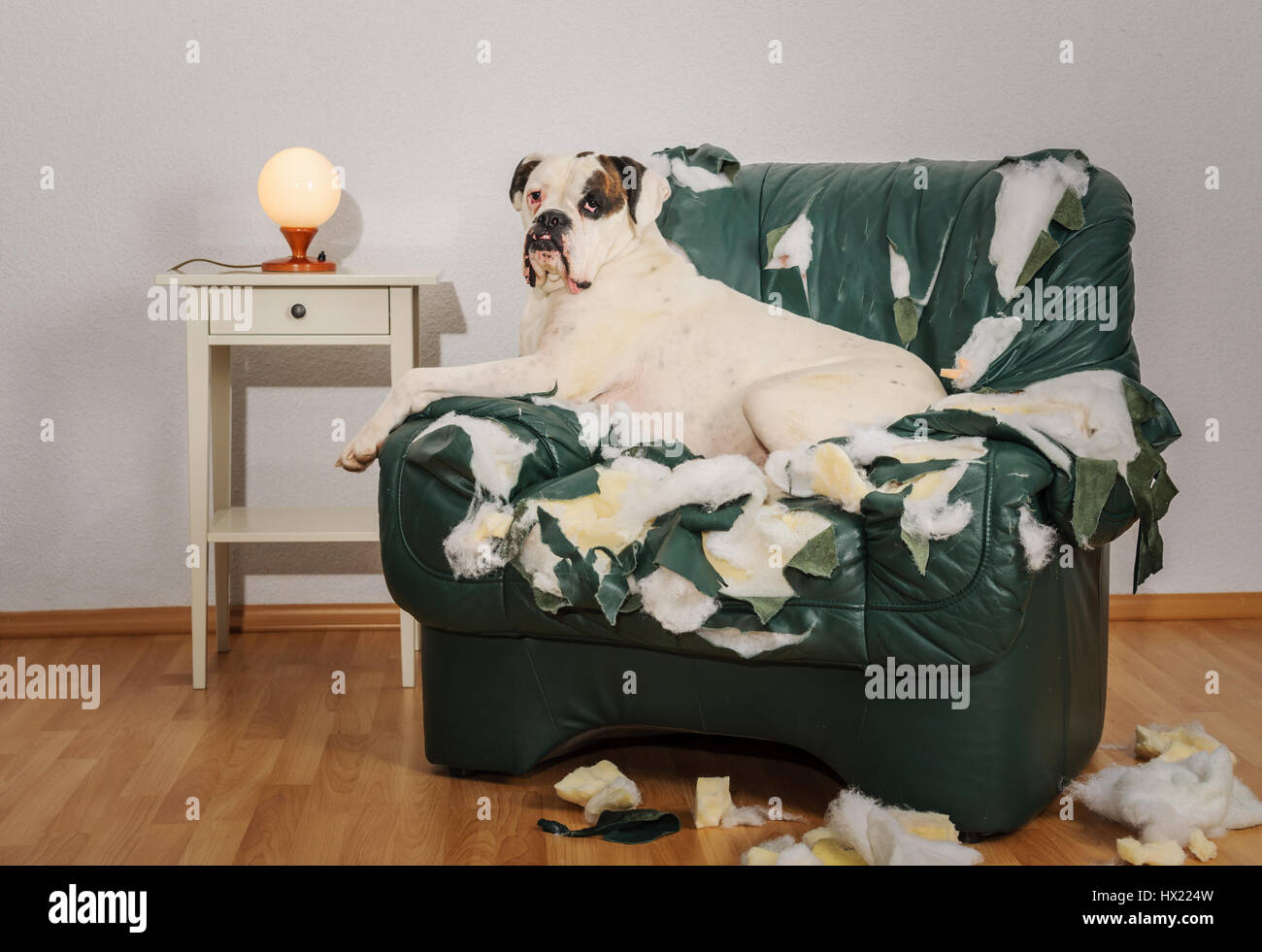 Boxer Dog Destroyed A Leather Armchair Dog Alone At Home