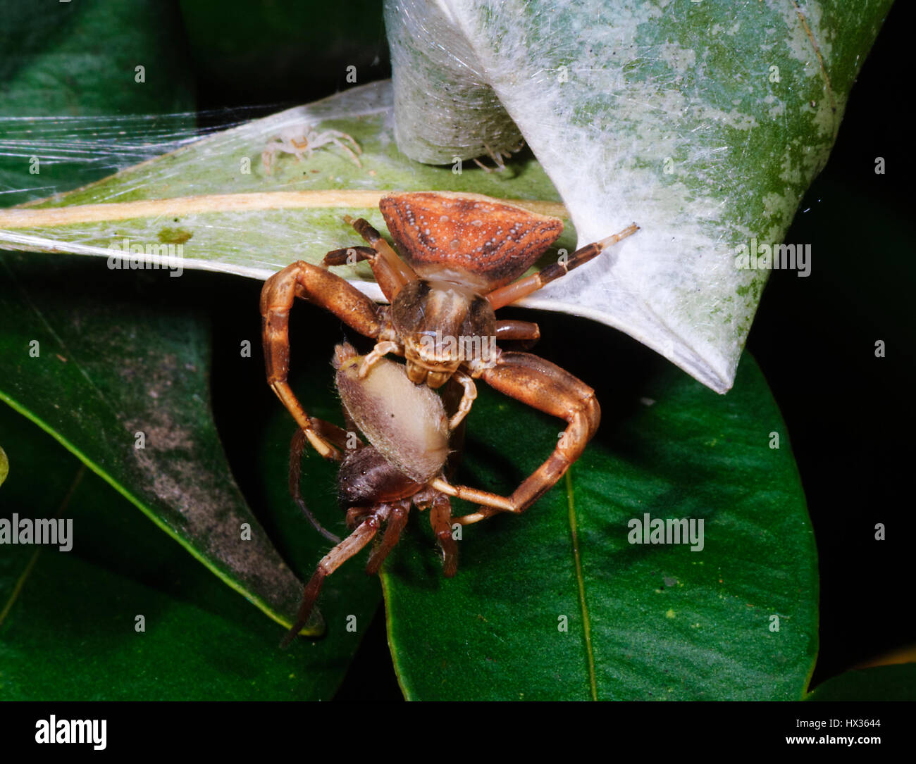 Crab spider preying bumble bee garden spiders spiders flower spiders - Brown Crab Spider Sidymella Bicuspidata With Another Spider Prey Outside Its Shelter New