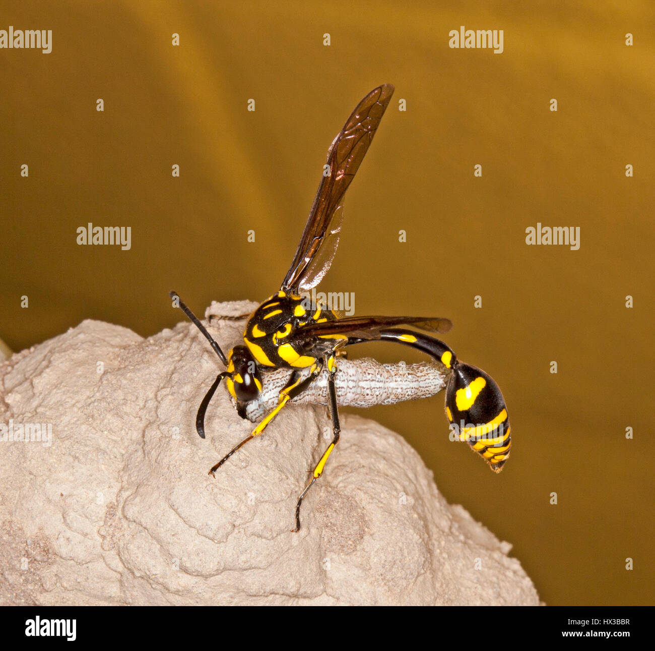 Black Flower Wasp From Australia: Unusual Image Of Black& Yellow Australian Potter Wasp