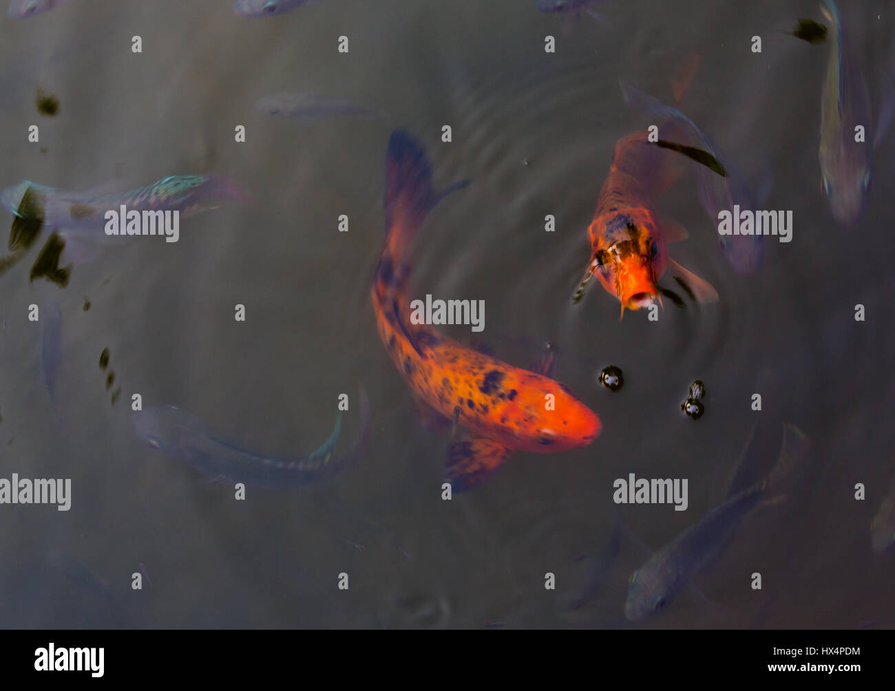Two beautiful koi fish swimming in pond stock photo for Pool koi aquatics ltd