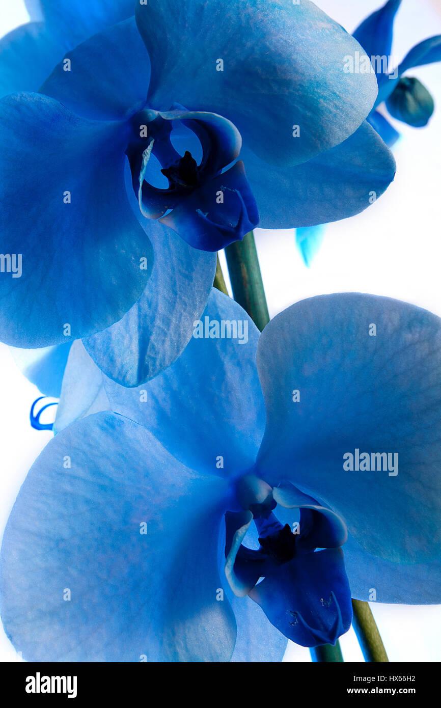 Beautiful exotic blue phalaenopsis tropical orchid flowers isolated beautiful exotic blue phalaenopsis tropical orchid flowers isolated on white background izmirmasajfo Images