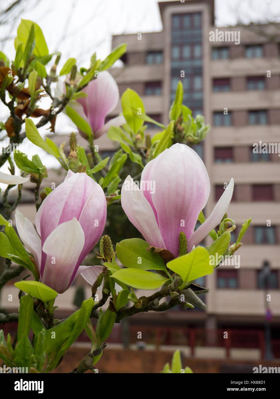 <b>Magnolia flowers blurred</b> #6996856