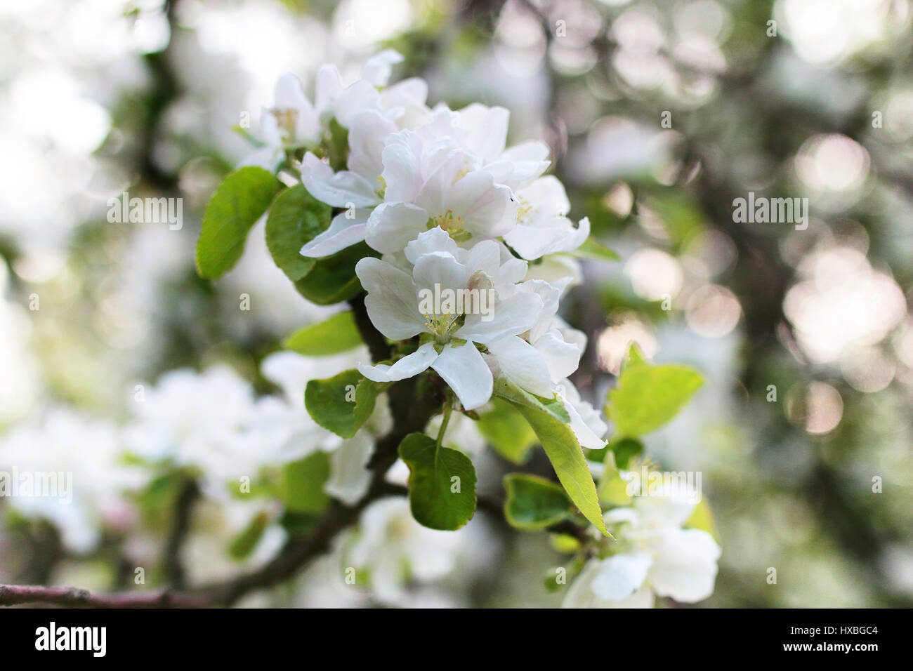 Early Spring Flowering Apple Tree With Bright White Flowers Stock