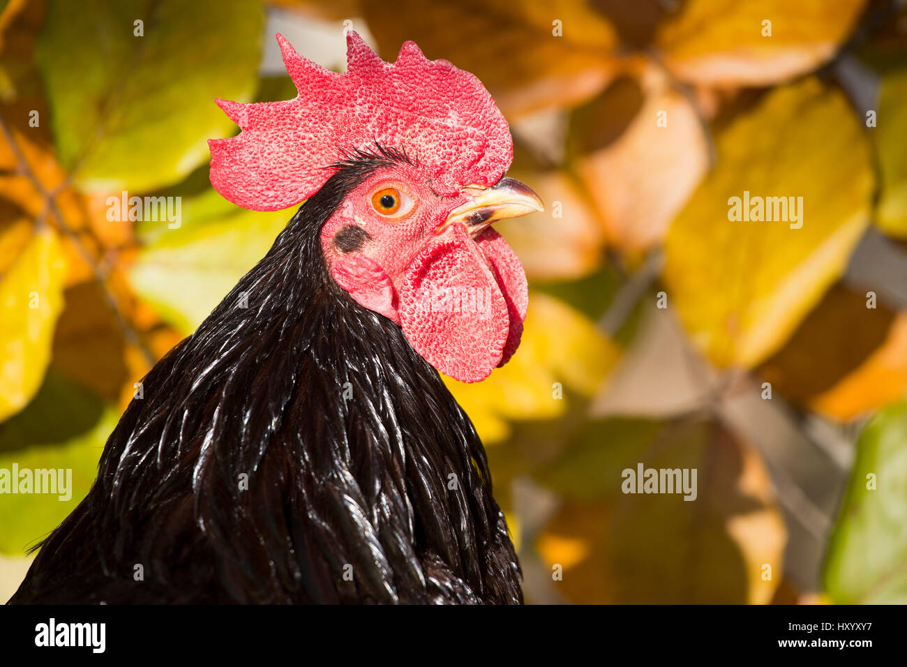 head portrait of domestic rhode island red rooster old lyme stock