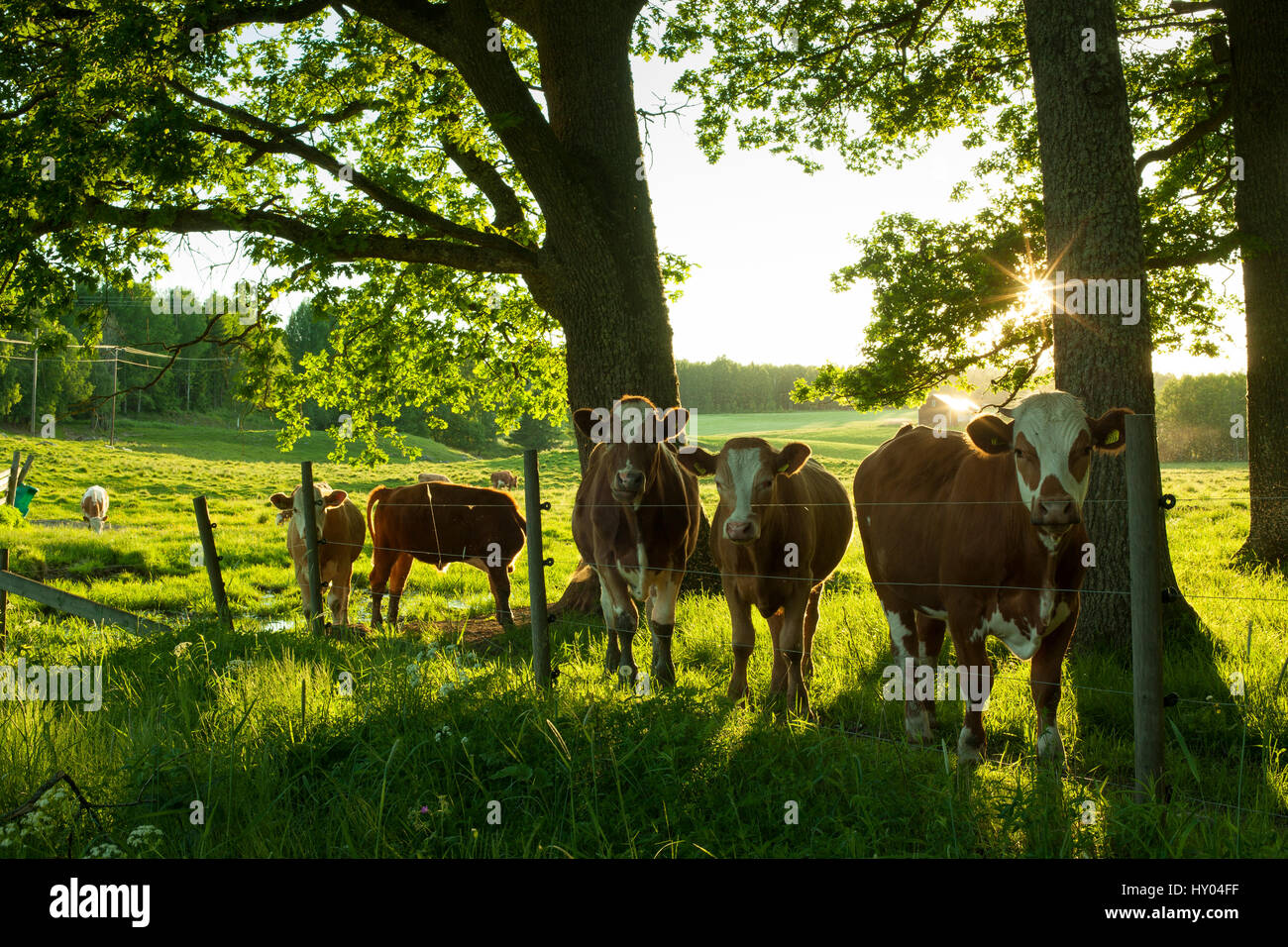 sweden scandinavia beautiful nature and landscape photo of cows