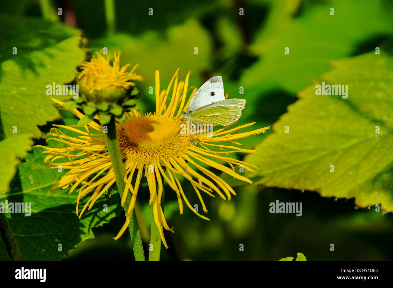 Butterfly on yellow daisy type flower stock photo royalty free butterfly on yellow daisy type flower dhlflorist Images