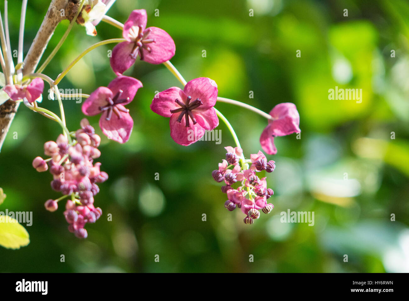 Chocolate vine in flower Stock Photo, Royalty Free Image ...