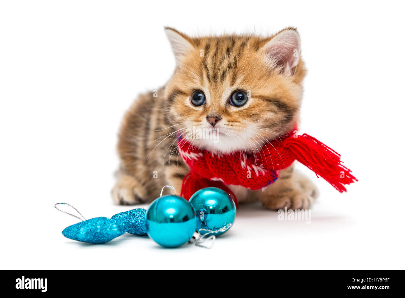 Cute kitten breeds British Marble in a red scarf isolated on