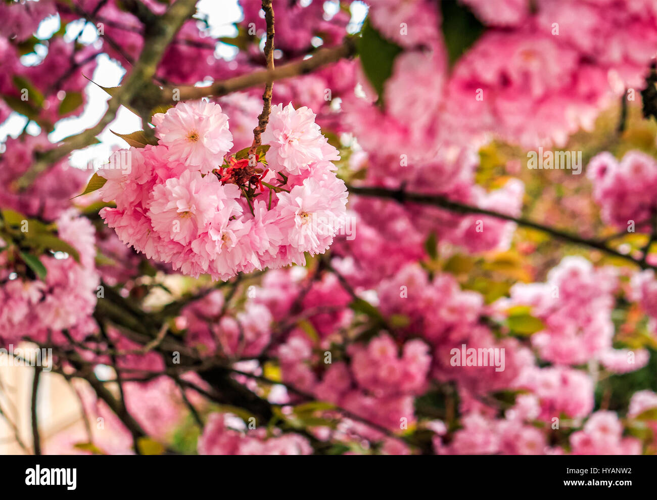 Beautiful spring background with pink sakura flowers closeup on a stock photo beautiful spring background with pink sakura flowers closeup on a branch on the blurred background of blossoming garden in springtime dhlflorist Images