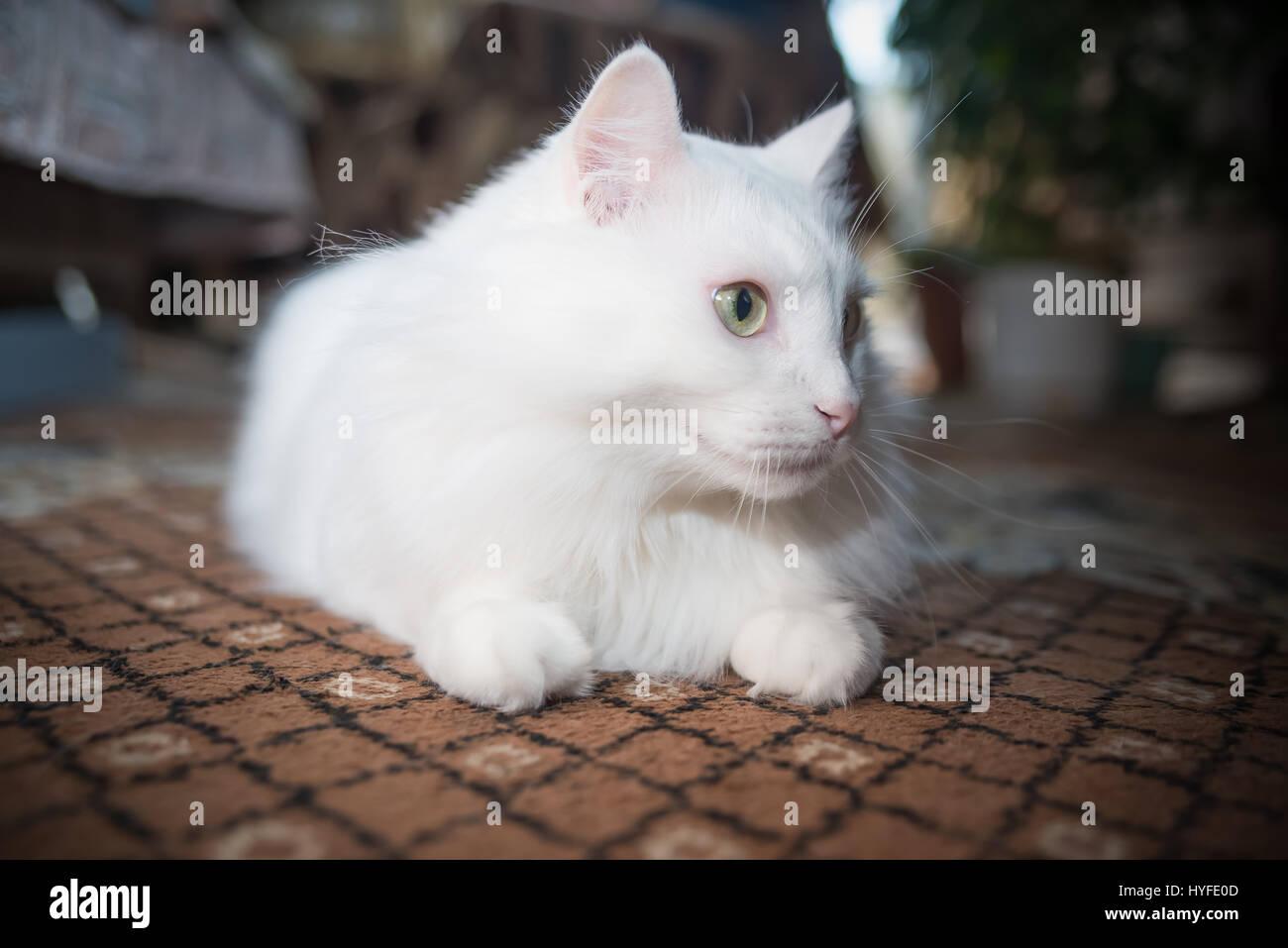 White cat breed Persian angora on black background Stock