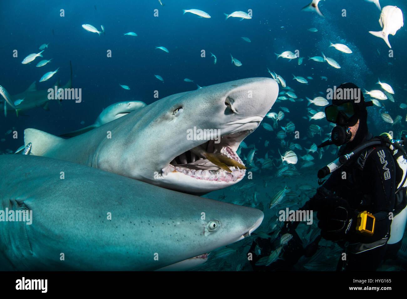 JUPITER FLORIDA TIGER BEACH BAHAMAS Photo Of Sharks Swarming Towards Food And Huddling Round