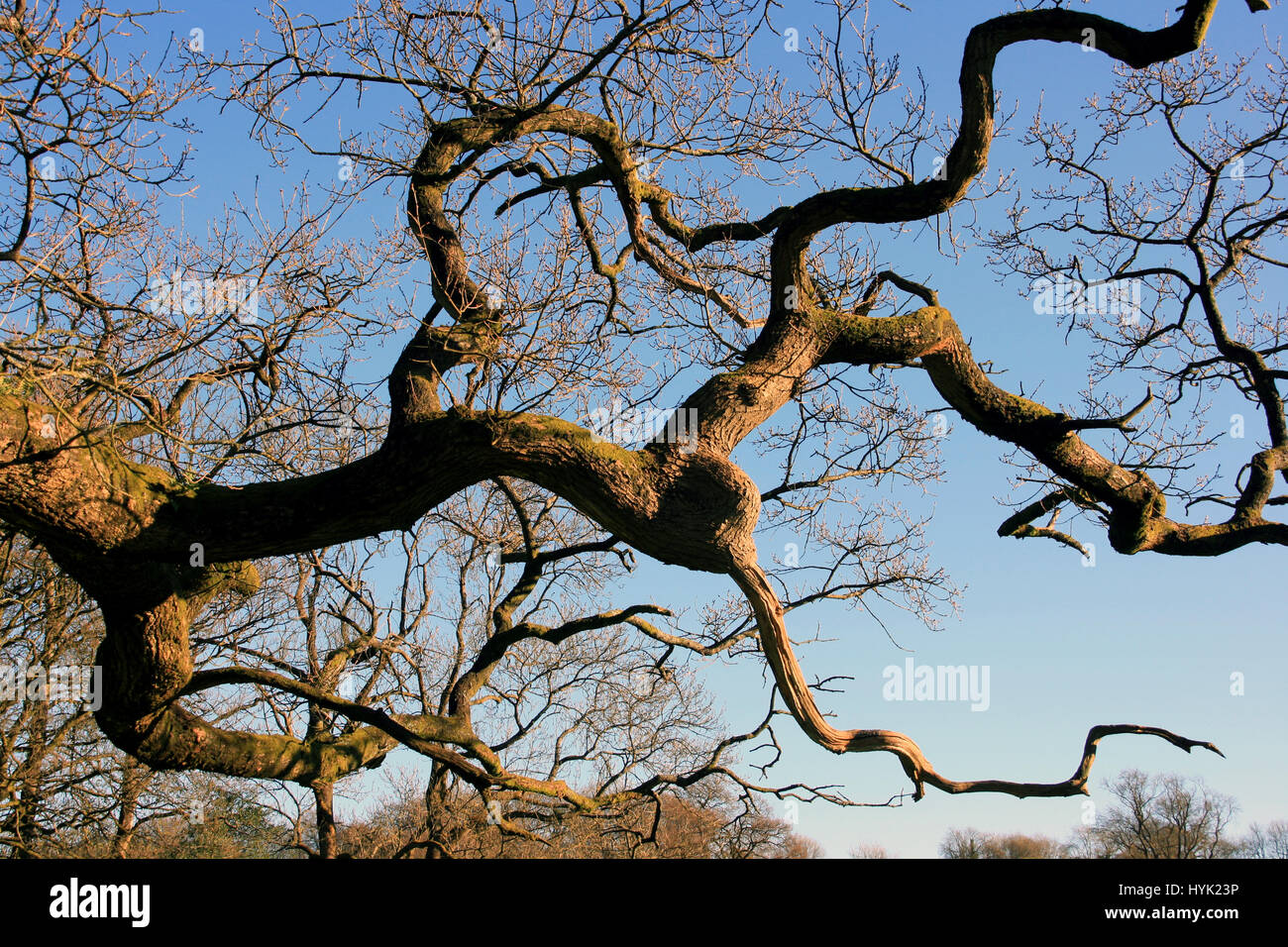 Ancient oak tree branches twisted against a blue
