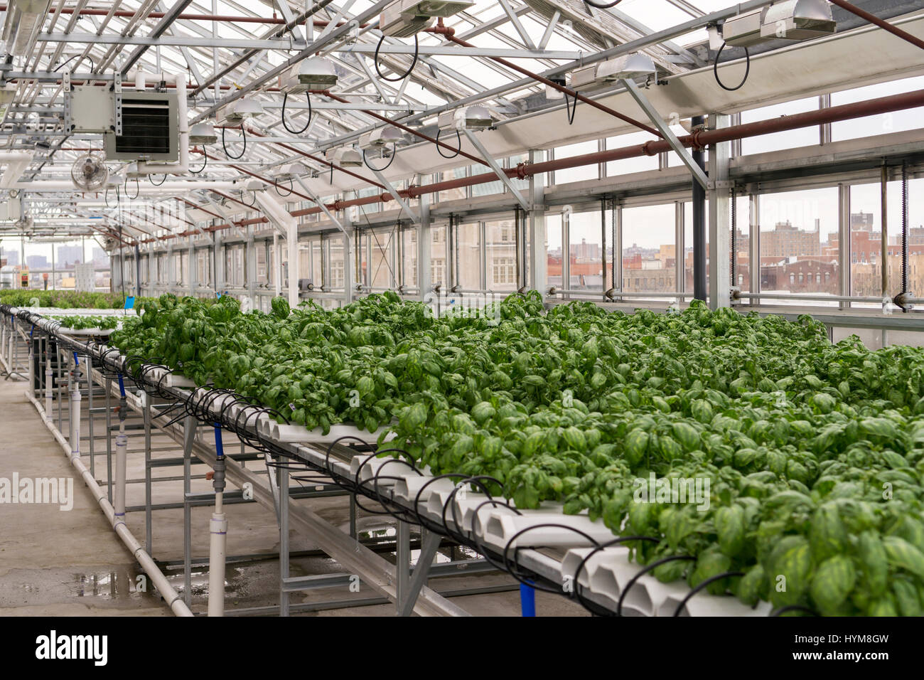 The greenhouse nyc - Hydroponic Farming Of Basil Is Seen On A Rooftop Greenhouse On The Roof Of An Affordable Housing Building In The Bronx In New York On Thursday March 30