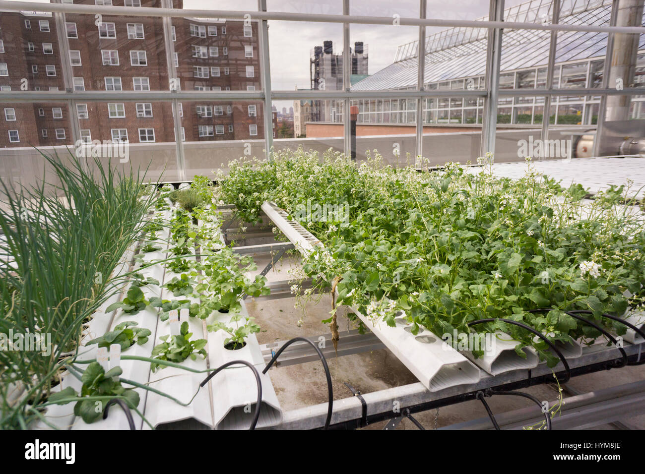 The greenhouse nyc - Hydroponic Farming Is Seen On A Rooftop Greenhouse On The Roof Of An Affordable Housing Building In The Bronx In New York On Thursday March 30 2017